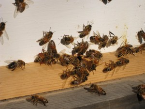 Bees Enjoying Sun in Early Winter