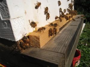 Honey Bees Enjoying a Warm Winter Day
