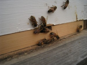 Hive 2 Workers Collecting Pollen