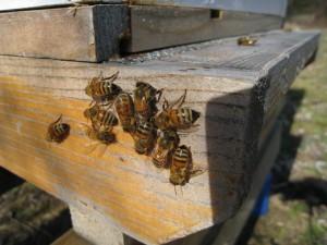 Honey Bee sunbathing in January
