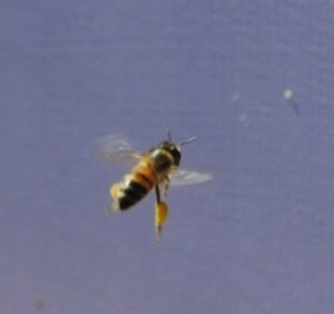 A bee flying with full pollen baskets