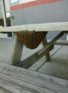 Colonial Heights Honey Bee Swarm